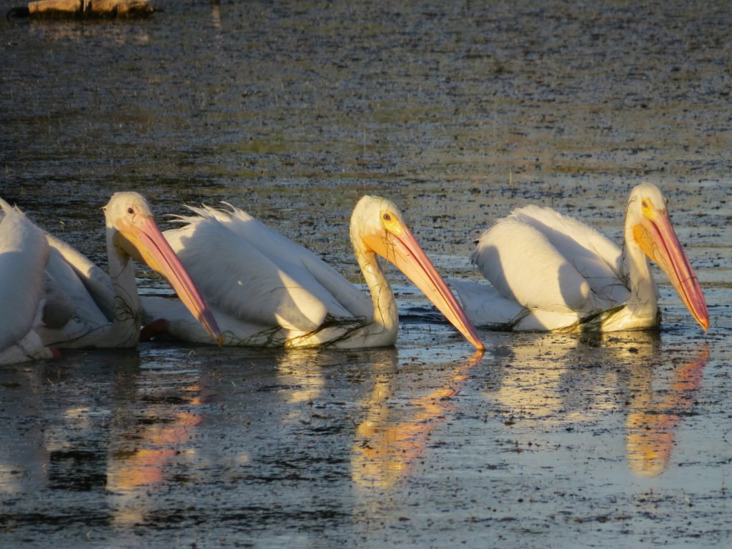 White pelicans just off the south end of Amelia Island in April 2016 (photo credit: Kristi Dosh)