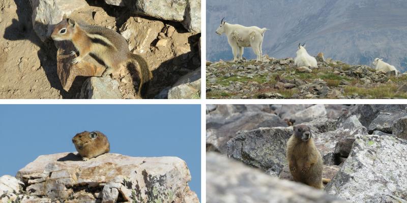 Quandary Peak, Colorado hikes, first 14er, Colorado wildlife