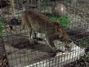 A mountain lion eating at Catty Shack Ranch.