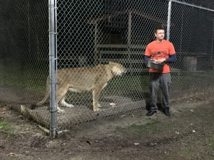 Feeding a lion at Catty Shack Ranch.