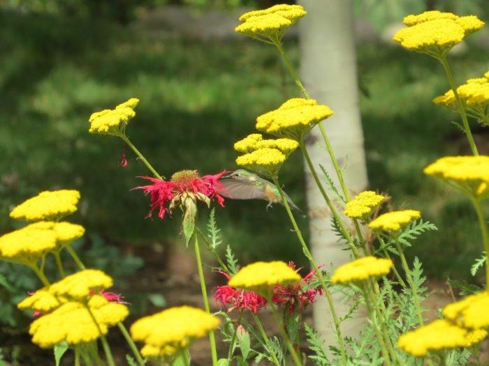 Hummingbird at Yampa River Botanic Gardens.