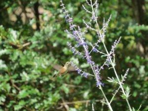 Hummingbird at Yampa River Botanic Garden.