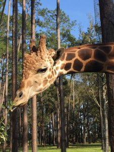 Male giraffe at White Oak Conservation Center.